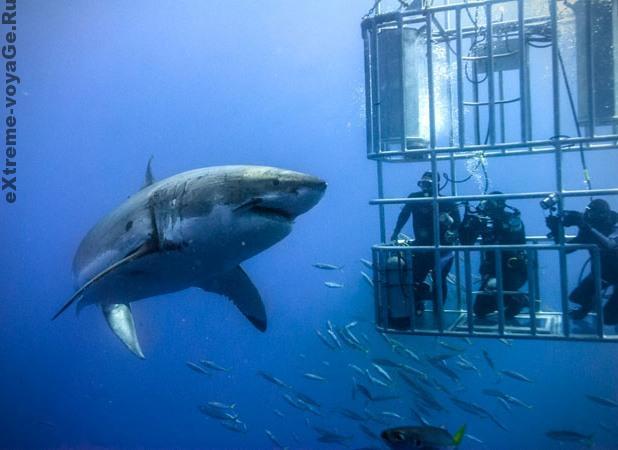 Экстремальный туризм Tiger Beach: дайвинг с тигровой акулой
