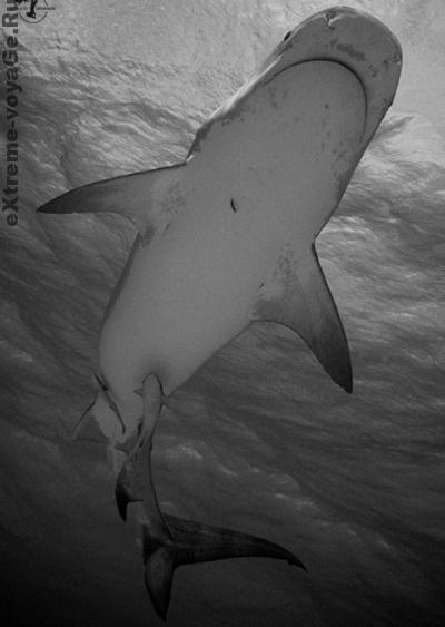 Акула проплывает на клеткой