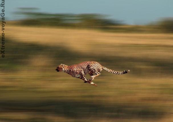 Гепард: самый быстрый хищник на планете, видео