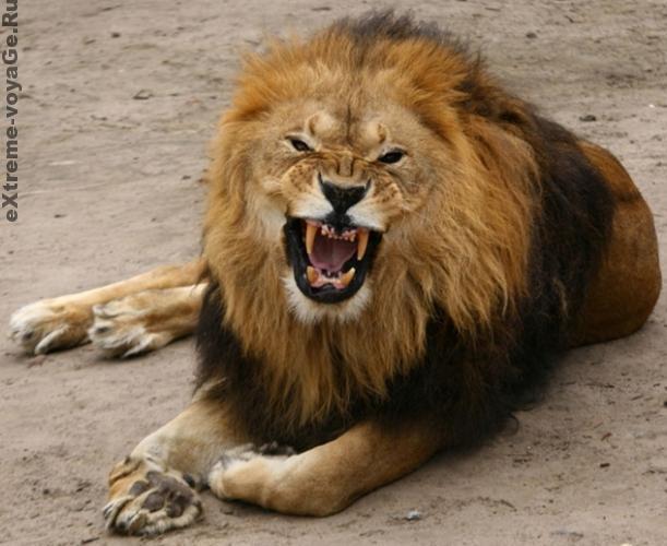 Опасные хищники: львы-убийцы, фильмы от National Geographic