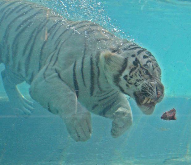 Бенгальский тигр - альбинос ныряет