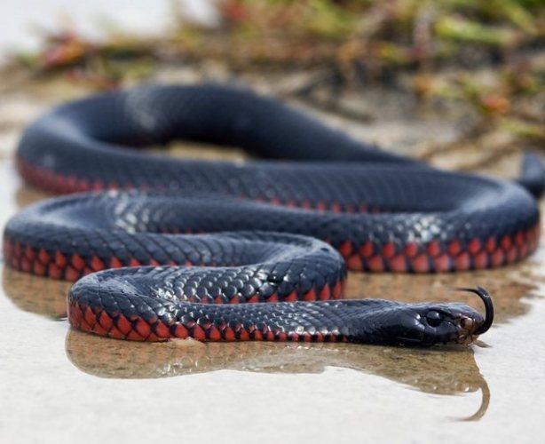Pseudechis porphyriacus: Самые опасные животные Австралии в одном видео
