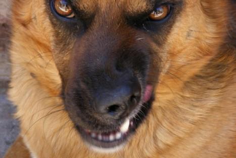 Внешний вид собаки говорит об угрозе нападения