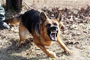 Обученная собака - лучший защитник дома