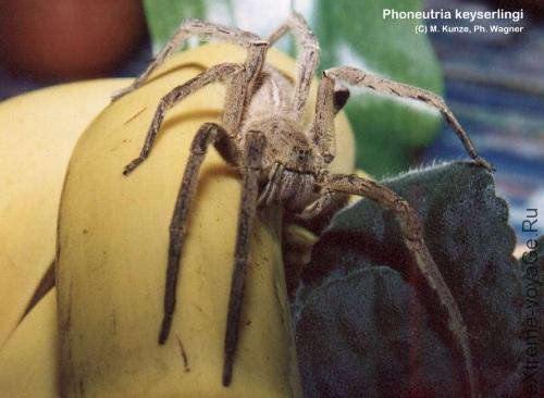 Кокон паука-убийцы найден в банане из магазина