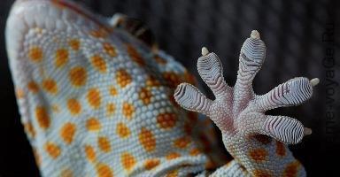 Пята геккона в разрезе
