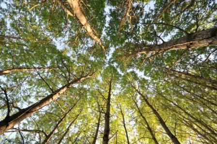 3 варианта использования коры осины для выживания