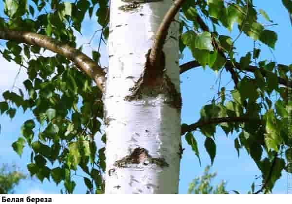 Выживание в лесу: береза белая