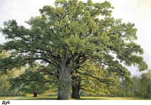 Выживание в дикой природе: дуб